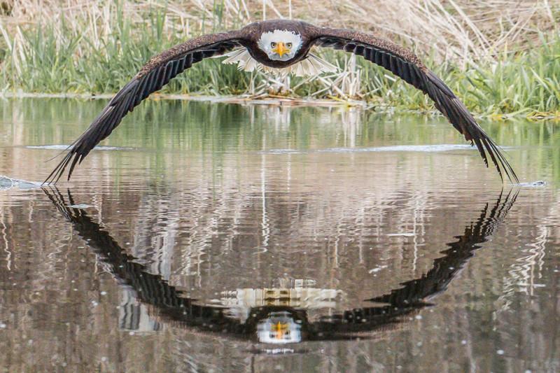 Photographer captures a mirror image of a bald eagle