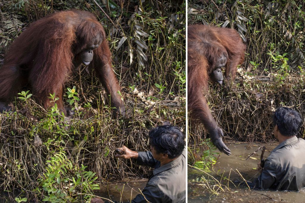 Kind Orangutan Caught on Camera Offering a Hand  to a Man Clearing Snakes from a River