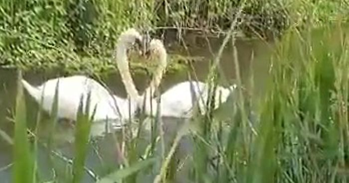 Sweet moment an injured swam is reunited with her lifelong mate