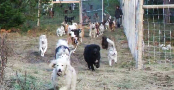 Man Adopts 45 Dogs And Sets Them Free On His Four Acres Of Land