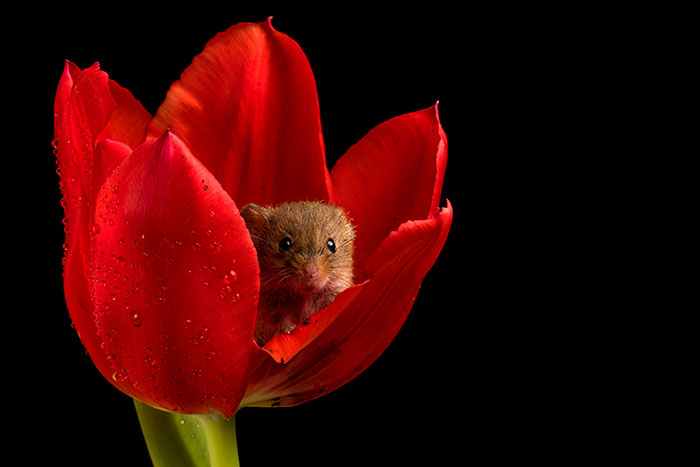 Photographer captures moment harvest mice play among the flowers