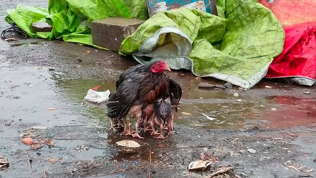 Adorable footage of Mother Chicken Protecting Babies From The Rain