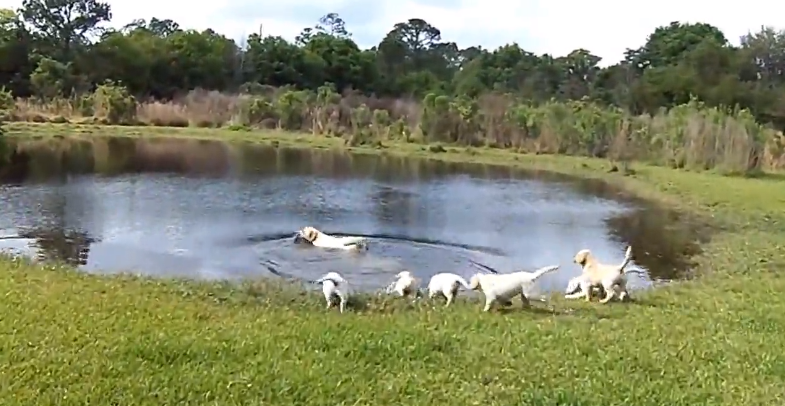 Watch this Labrador dad teaches his puppies to swim for the first time
