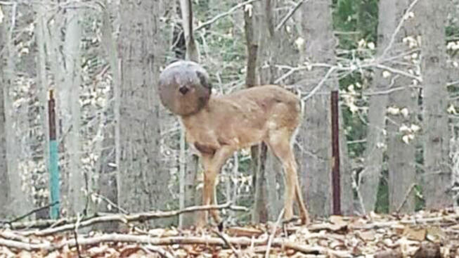 Deer with glass bowl stuck on head rescued