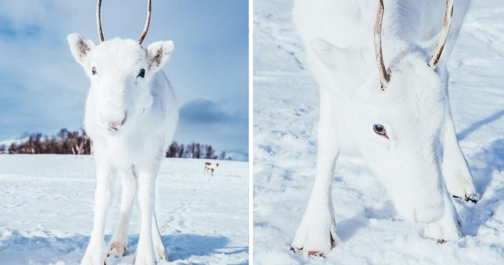 Rare White Reindeer Calf Spotted In Snowy Norway