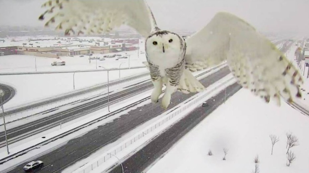 Traffic Camera Accidentally Snaps Beautiful Photo Of A Snowy Owl