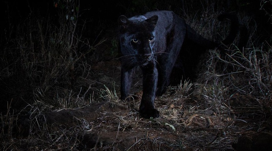 Rare Black Leopard Caught on Camera in Kenya