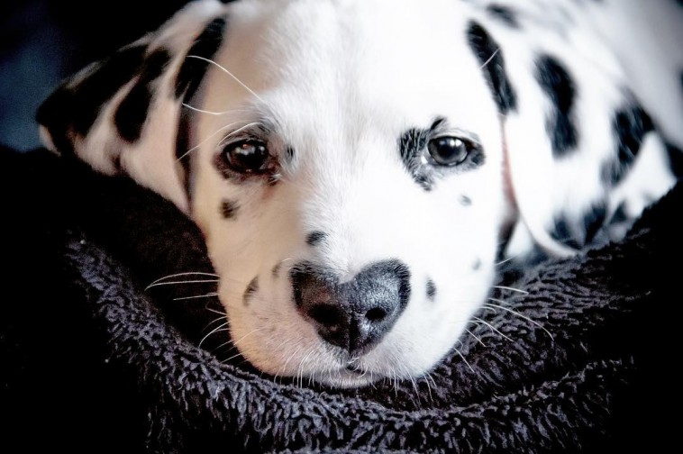 Meet The Dalmatian Puppy with a heart-shaped spot at his nose