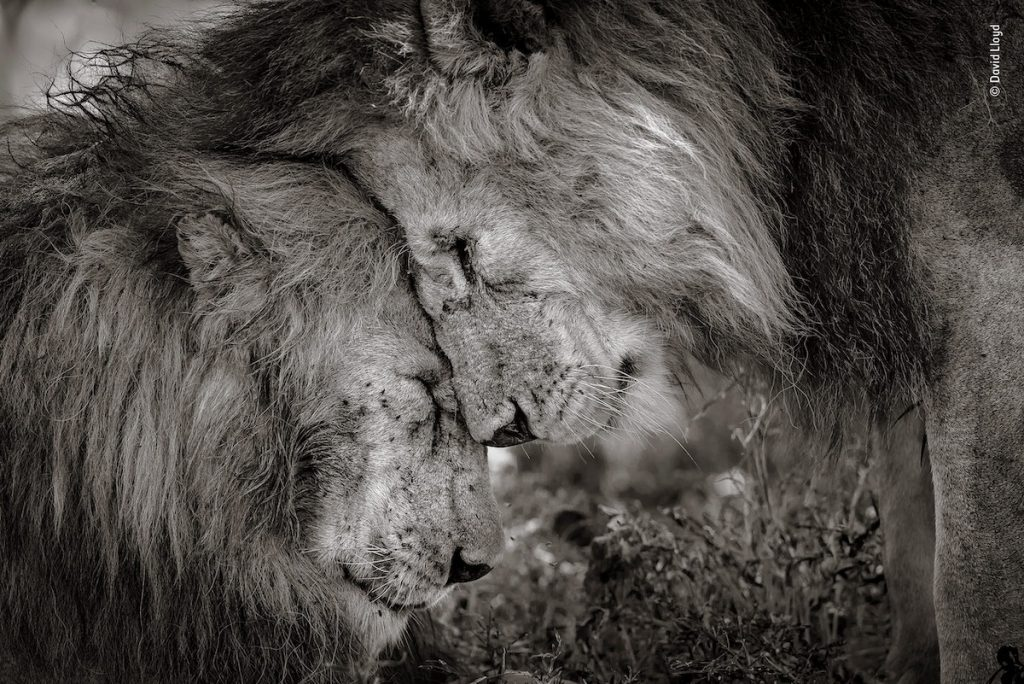 Touching Photo of Lions Wins Wildlife Photographer Of The Year People's Choice Award
